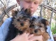 Teacup yorkies for adoption.